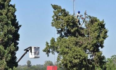 Trabajos de extracción del ciprés en la Plaza Colón